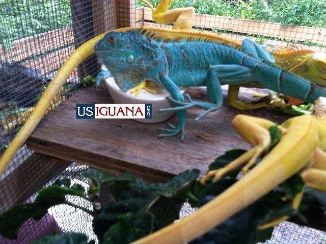 Blue Iguana For Sale : Usiguana