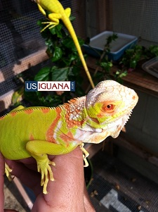 Albino True T Iguana X